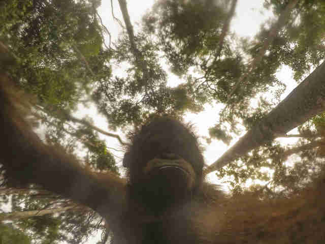 Wild orangutan takes selfie with tourist's camera
