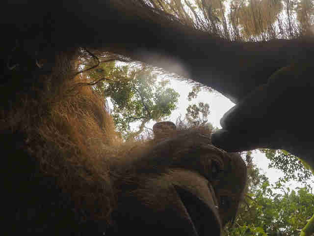 Wild orangutan in Borneo snaps selfie with man's camera