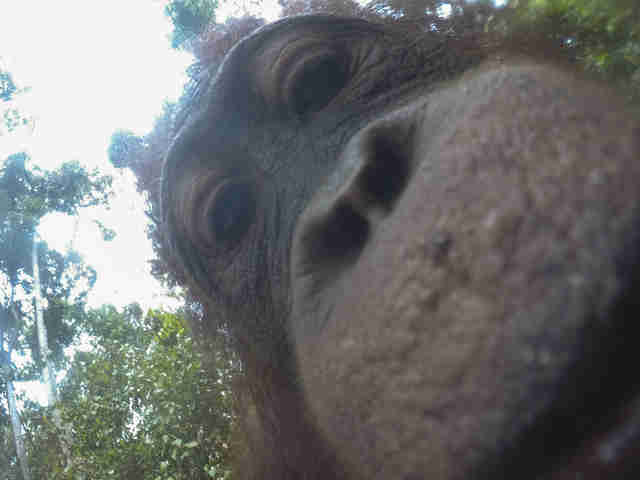 Orangutan snaps selfie with guy's camera in Borneo