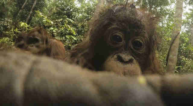 Orangutan snaps selfie with man's camera in Borneo