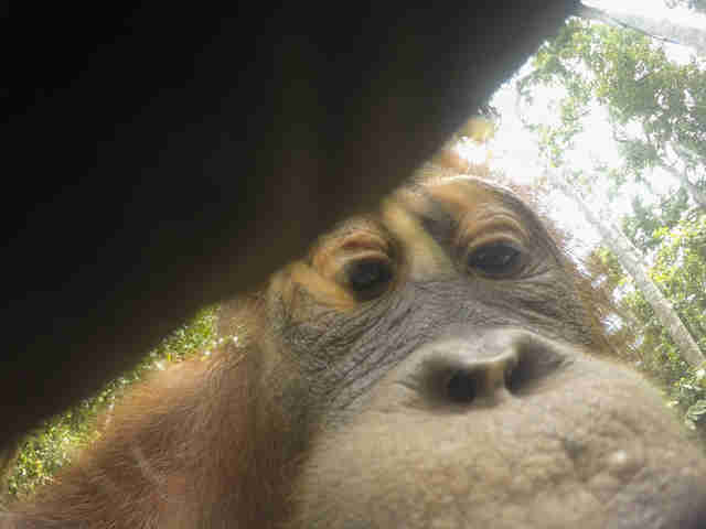 Wild orangutan in Borneo taking selfie with stolen camera