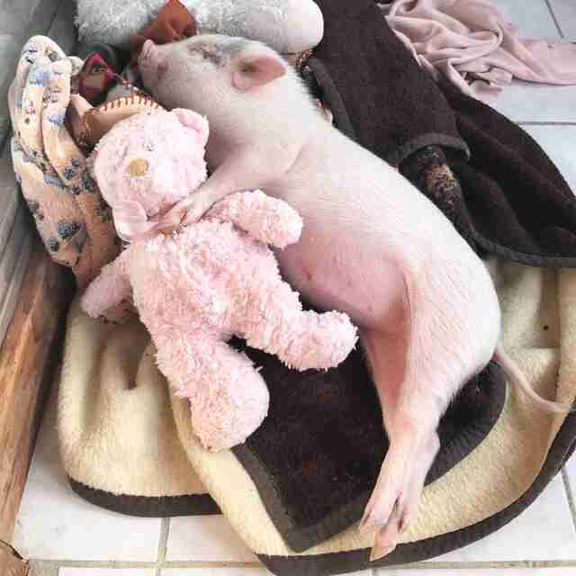 Piglet snuggling with stuffed animal on bed