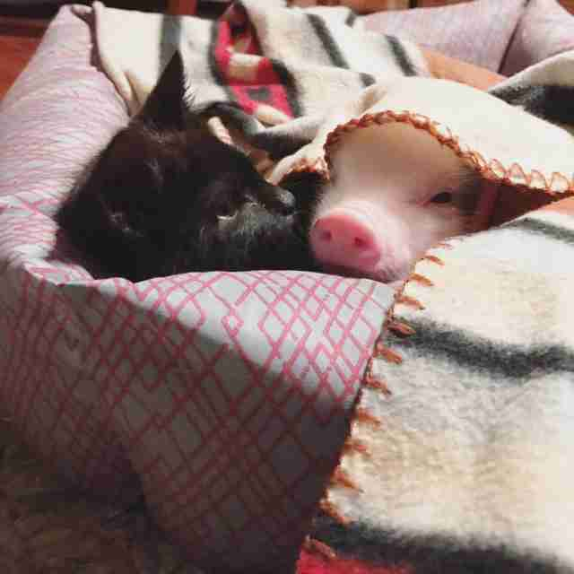 Piglet and kitten snuggling together