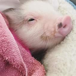 Rescued piglet cuddling in blankets