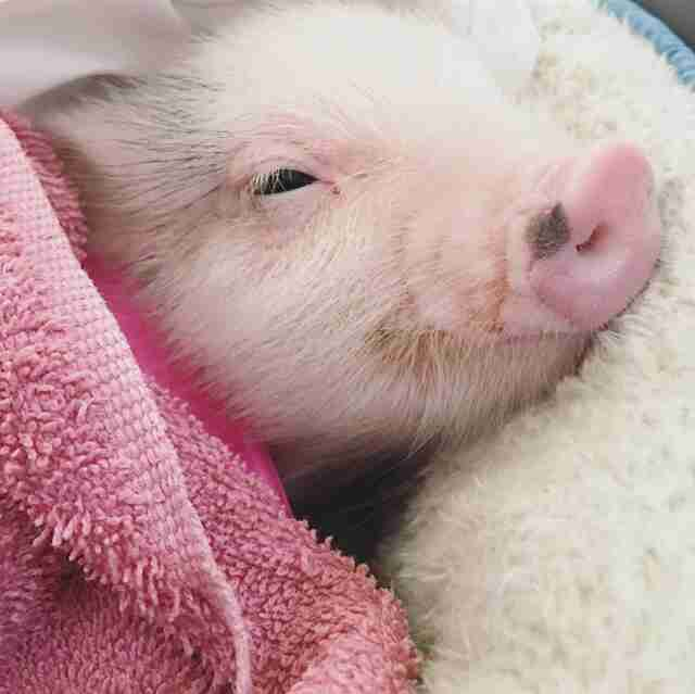Rescued piglet cuddling in blankets