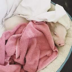 Piglet cuddled up in blankets