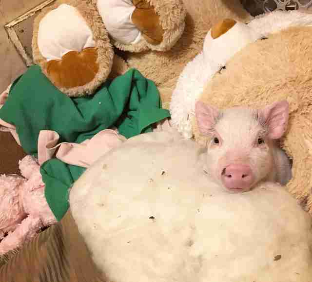 PIglet snuggling with stuffed animals and blankies
