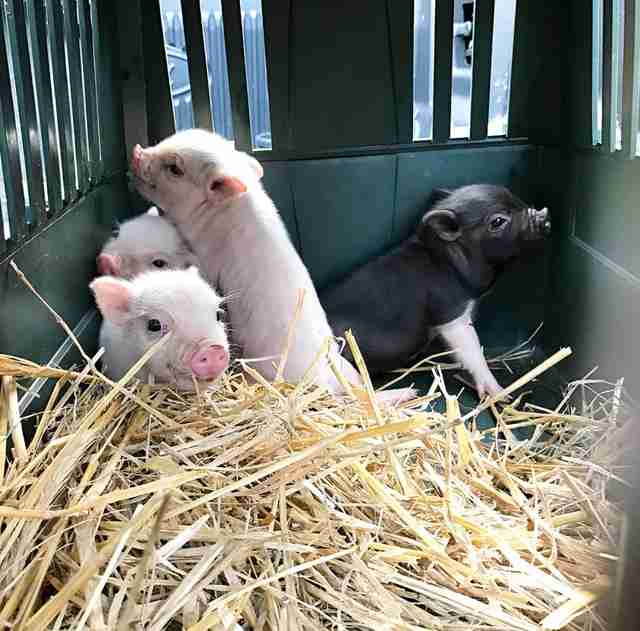 Rescued piglets inside transport crate