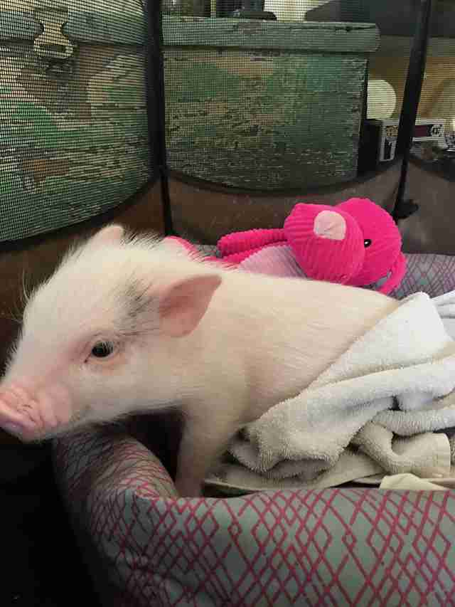 Baby piglet in dog bed