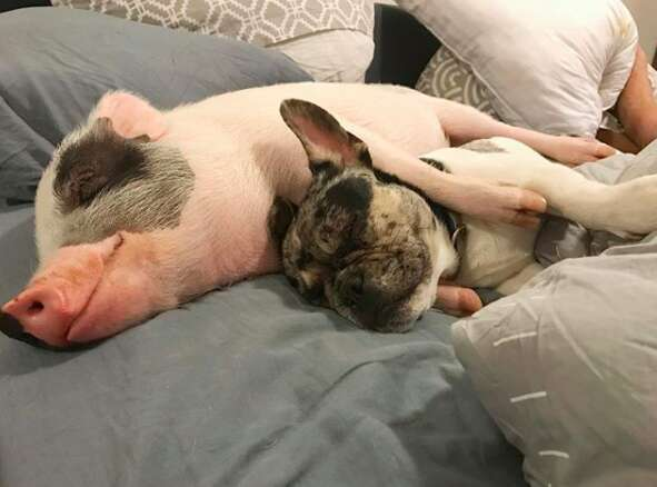 pig and dog best friends