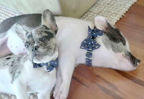 dog and pig best friends