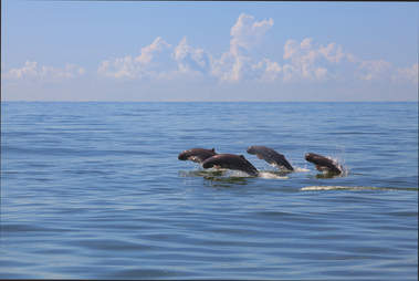 Irrawaddy dolphins swimming in a pod