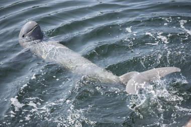 Irrawaddy dolphin swimming
