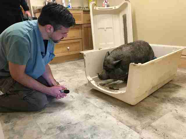 Neglected pet pig getting help at Ontario vet