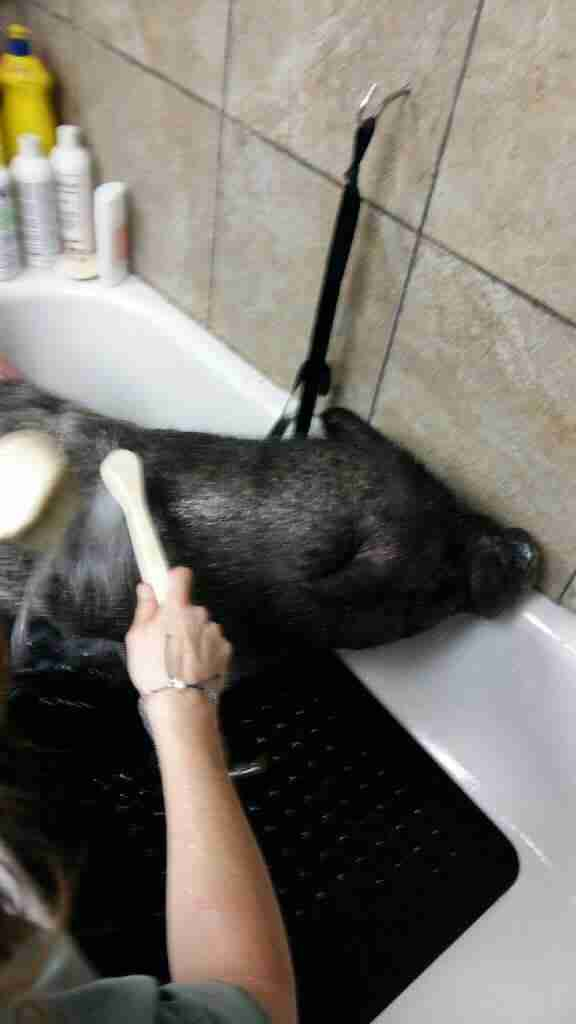 Rescuers giving neglected pet pig a bath