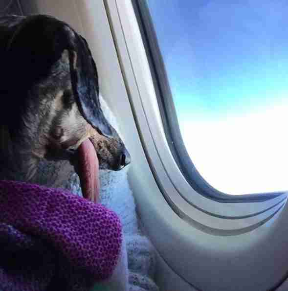 Dog with floppy tongue looking out of airplane window
