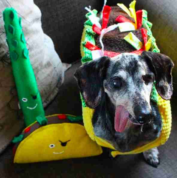 Dog dressed up as taco