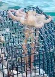 Octopus stealing fish from fishermen in Key West, Florida