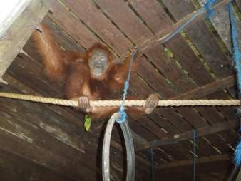 Blinded orangutan at sanctuary