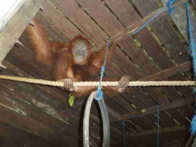 Blinded orangutan at sanctuary