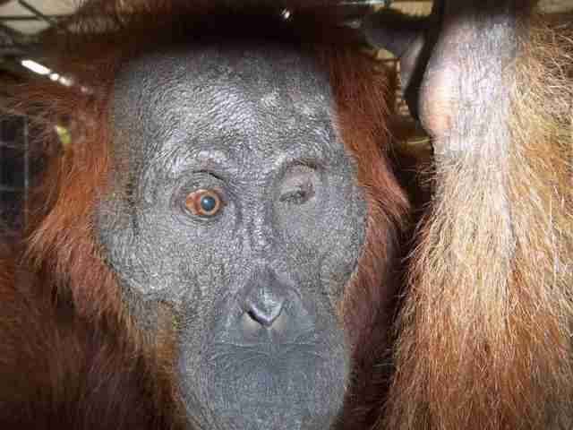 Orangutan found shot 100 times on palm oil plantation