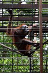 Rescued orangutan at sanctuary