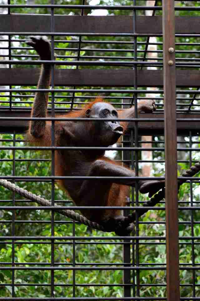 Rescued orangutan at sanctuary
