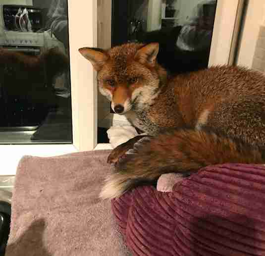 fox steals cat bed england