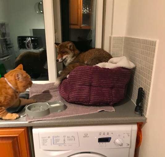 fox steals cat bed england