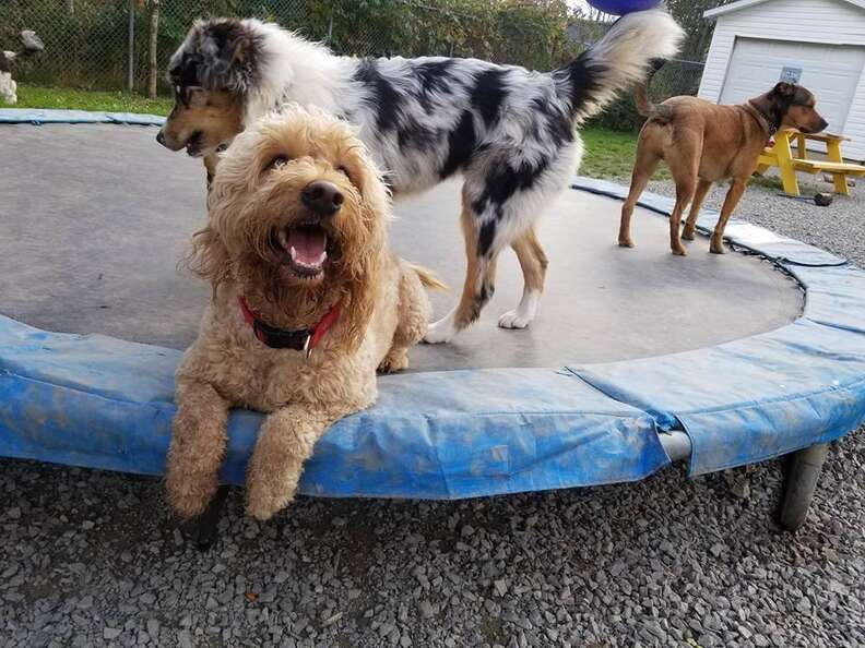 dogs on trampoline
