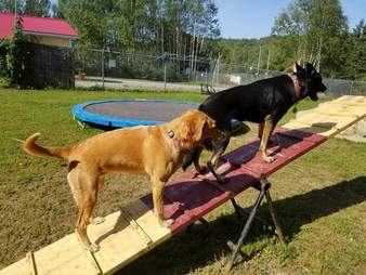 dogs on seesaw