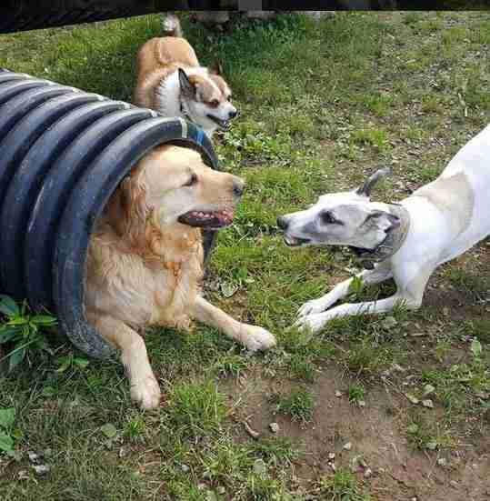 dogs playing at day care