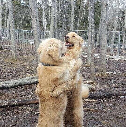 golden retrievers hugging