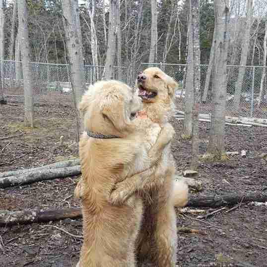 perros perdigueros de oro abrazándose