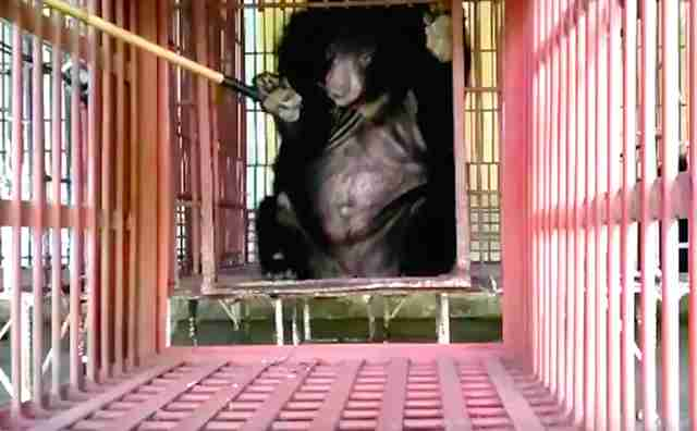 Bear being rescued from bile farm in Vietnam