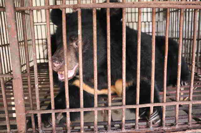 Bear at Vietnam bile farm