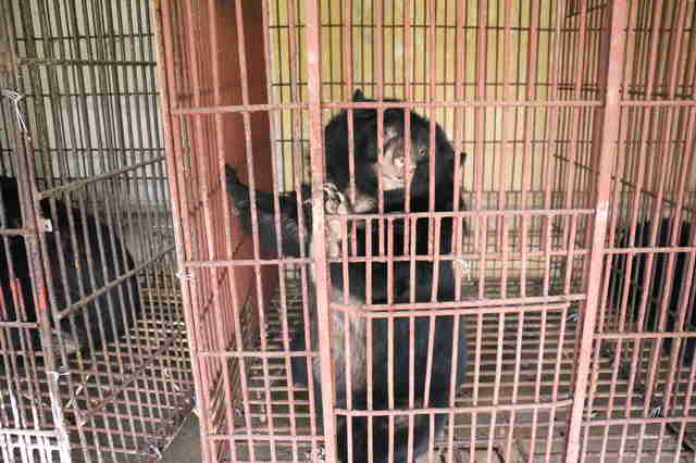Bear in cage at Vietnam bile farm