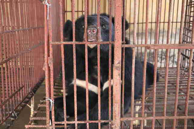 Moon bear at bile farm in Vietnam