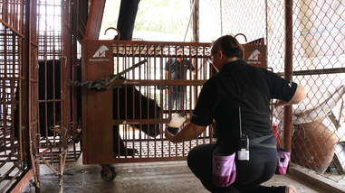 Bear being rescued from Vietnam bile farm