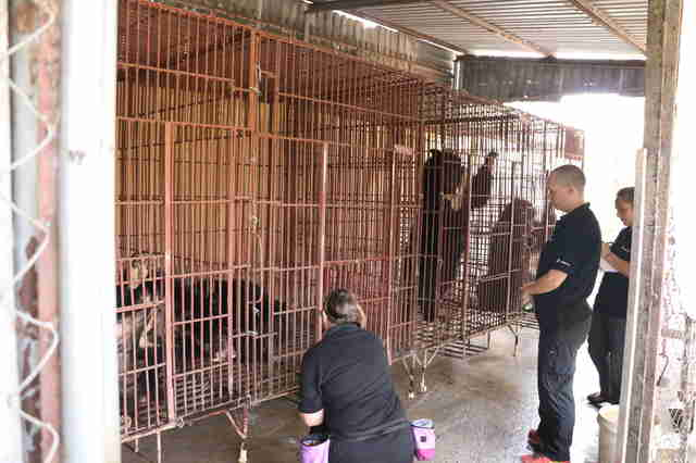 Veterinarians inspecting moon bears at bile farm in Vietnam