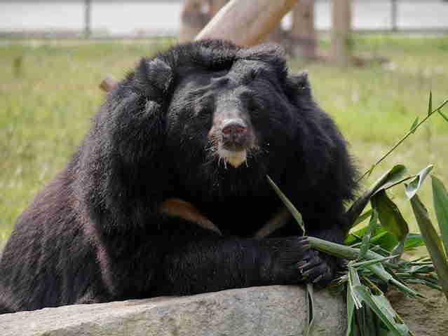 Bear at sanctuary in Vietnam