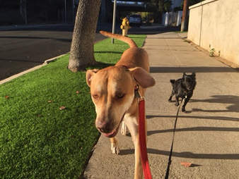 lucy dog adopted chews life