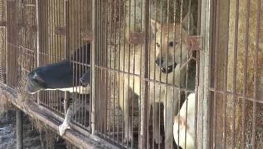 dog meat farm korea rescue