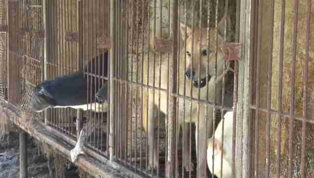 dog meat farm korea rescue