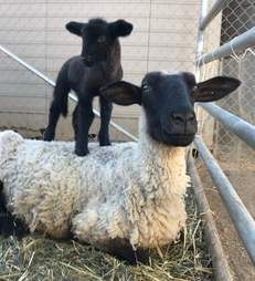 sheep mom and baby rescued slaughterhouse california
