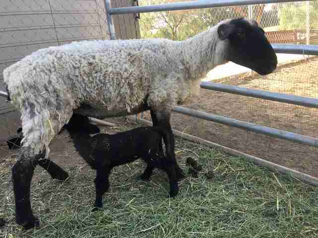 sheep mom and baby rescue slaughterhouse california