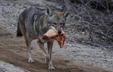 Wild coyote with pizza in her mouth