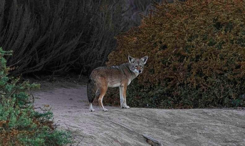 Wild coyote in California