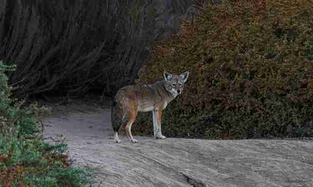 Wild coyote in California