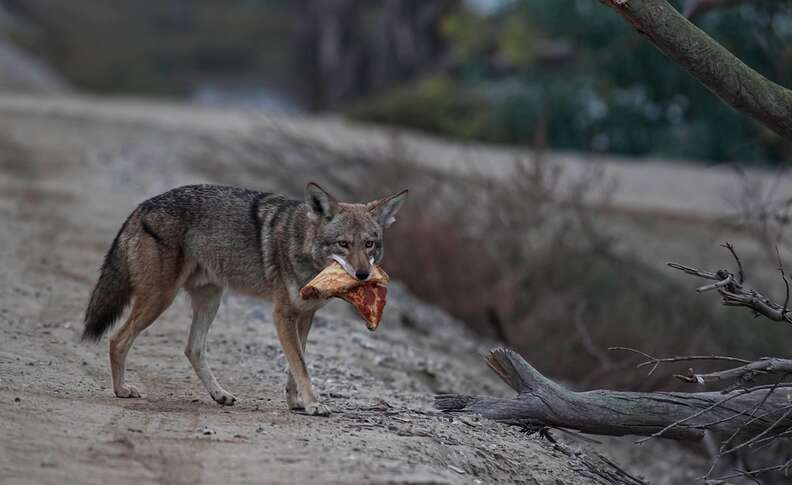 Wild coyote with pizza in mouth